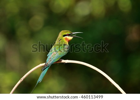 Chestnut-Headed Bee-Eater bird on branch