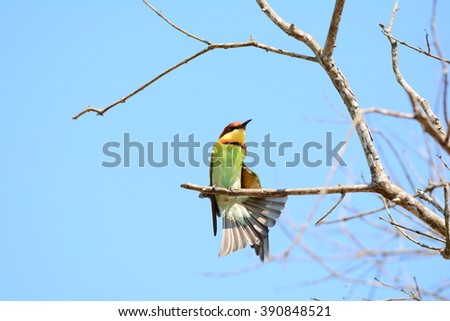 Chestnut-headed Bee-eater from thailand