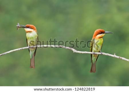 Chestnut-headed Bee-eaters, Thailand. - stock photo