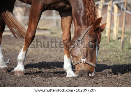 Chestnut horse digging hole in the ground - stock photo
