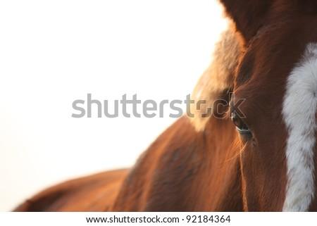 Chestnut horse eye close up at the sunset - stock photo