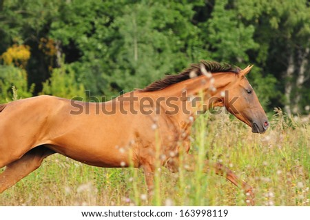 chestnut horse gallop in the summer - stock photo