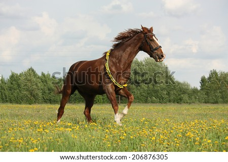 Chestnut horse galloping at dandelion field with circlet - stock photo