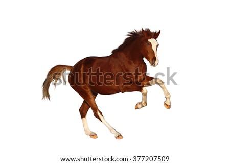 Chestnut horse galloping free  isolated on white background - stock photo