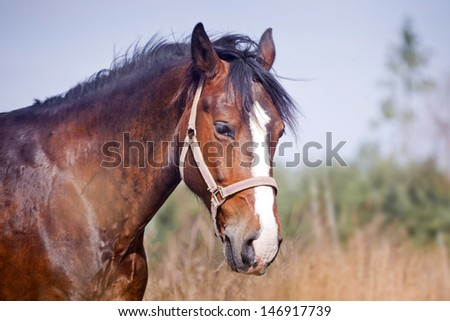 Chestnut horse in a field