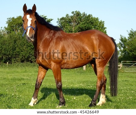 Chestnut Horse in a Green Meadow - stock photo