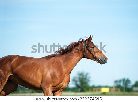 Chestnut horse in movement - stock photo