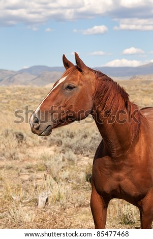 Chestnut Horse in the Valley of Colorado