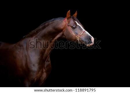 Chestnut horse isolated on black background - stock photo