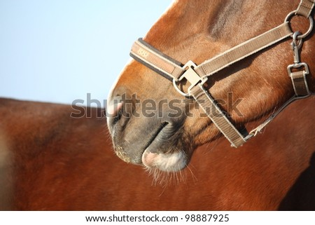 Chestnut horse nose close up - stock photo