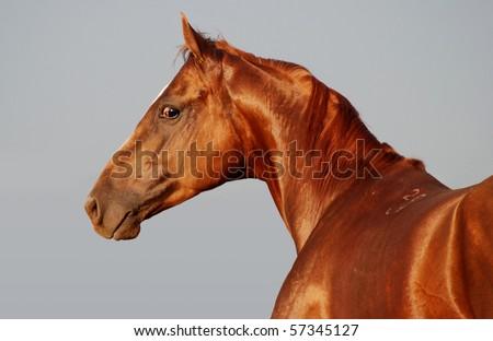 Chestnut horse on grey background - stock photo