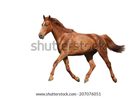 Chestnut horse running free on white background