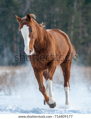 Chestnut horse running winter front view stock photo royalty free chestnut horse running in winter front view sciox Choice Image