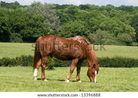 chestnut horse sweating as he grazes