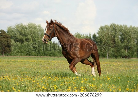 Chestnut horse trotting at the flower field on sunny day - stock photo