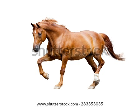 chestnut horse trotting isolated on white background - stock photo