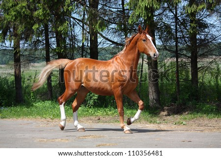 Chestnut horse trotting on the road leading to farm