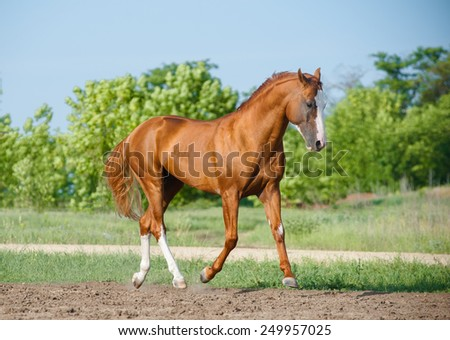 Chestnut horse walking in a field paddock outdoors - stock photo
