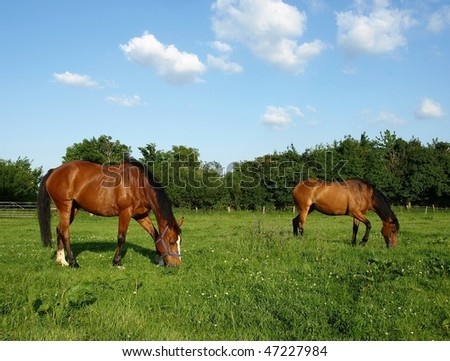 Chestnut Horses Grazing in a Green Meadow - stock photo