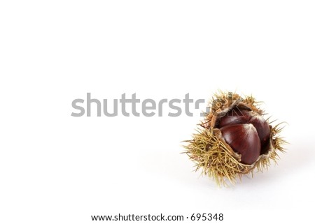 chestnut in case with white background