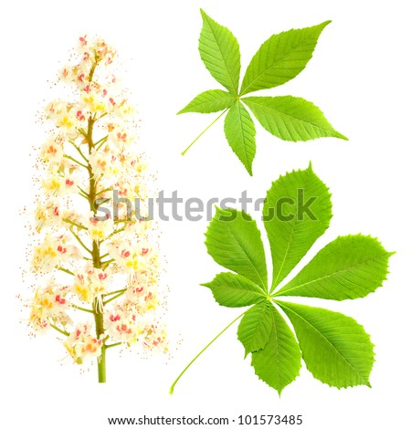 Chestnut isolated on white. Aesculus hippocastanum. Blossom of horse-chestnut tree. - stock photo