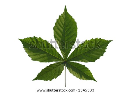 chestnut leaf detail isolated on white - stock photo