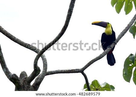 Chestnut mandibled toucan perched in a 'Guarumo' tree.