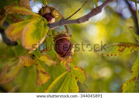 Chestnut on branch in the park  - stock photo