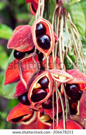 chestnut on tree  (Aesculus hippocastanum, Conker tree) botanic summer husk season flora round forest seed garden fall growth conker plant shell background fresh branch nature nut botany - stock photo