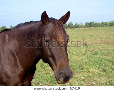 Chestnut quarter horse mare standing in a fall pasture