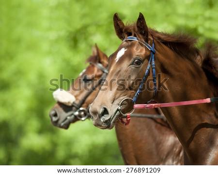 chestnut racing horses heads closeup before start - stock photo