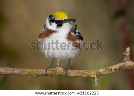 Chestnut-sided Warbler perched on a branch.