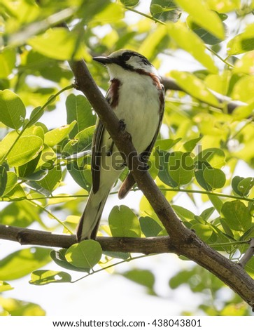 Chestnut-sided Warbler (Setophaga pensylvanica) perched on a branch - stock photo