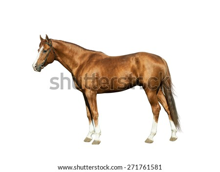Chestnut stallion isolated over a white background - stock photo
