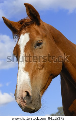 Chestnut stallion portrait under the blue sky