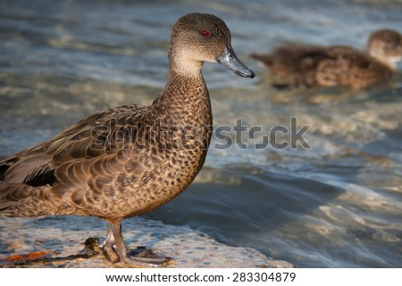 Chestnut teal Australian duck - female