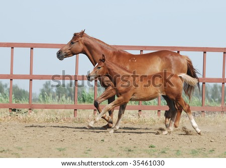 chestnut trakehner mare and foal in motion - stock photo