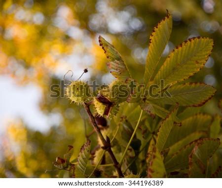 Chestnut tree - stock photo