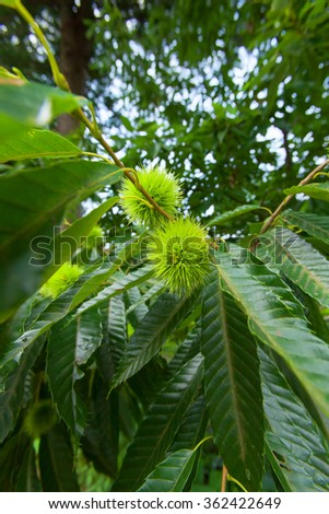 Chestnut tree and green chestnuts  - stock photo