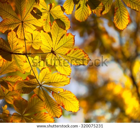 Chestnut tree, autumn red and yellow leaves.