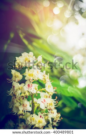 Chestnut tree blooming over foliage and sunshine background. Chestnut flowers in garden or park  - stock photo
