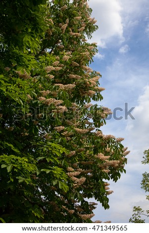chestnut tree in blossom. nature