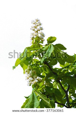 Chestnut tree with blossoming spring flowers isolated on white background - stock photo