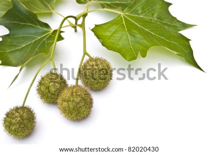 Chestnuts and leaves in late summer on a white background - stock photo