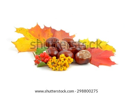 Chestnuts. Autumn leaves and chestnuts on white background. Chestnuts nuts. Chestnuts fruits. Chestnuts decoration. Chestnuts and leaves with copy space..Chestnut with autumn leafs and berries. - stock photo