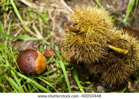 Chestnuts fallen off a tree on a leafy ground