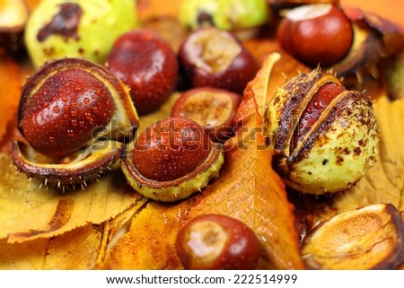 Chestnuts in Autumn with leaves - stock photo