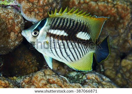 Chevron butterflyfish (Chaetodon trifascialis) at night, in the Red Sea, Egypt. - stock photo