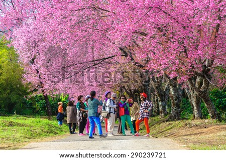 CHIANG MAI, THAILAND-January16 : The tourists admiring the beautiful cherry blossom tree garden on January 16, 2015, Chiang Mai, Thailand.