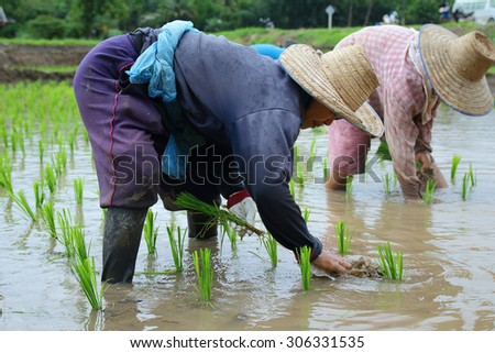 Chiang Mai, Thailand - July 29 2015: Farmers transplant rice seedlings in paddy season in Mae Chaem District, Chiang Mai. Northern Thailand. - stock photo